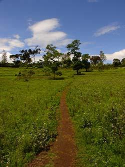 Yamswurzel Feld in Südamerika.